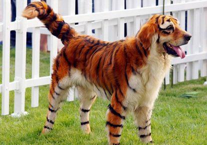 собака-тигр