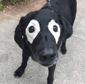 лабрадор в очках