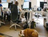Четвероногие коллеги: в тайских офисах «трудятся» собаки