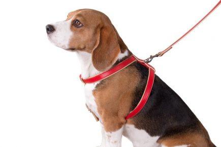 собака в шлейке