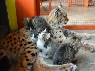 Рысь Алёна с котятами