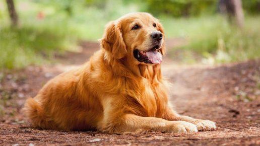 Золотистый ретривер — хорошая порода собаки для ребёнка