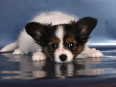 Папильон — идеальная порода собак для содержания в квартире