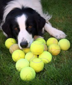 Собака и теннисные мячики