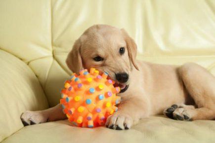 Собака со специальным мячом