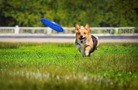 Собака бежит за летящей тарелкой