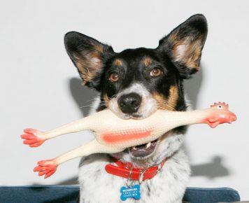 Собака с пищащей игрушкой в зубах