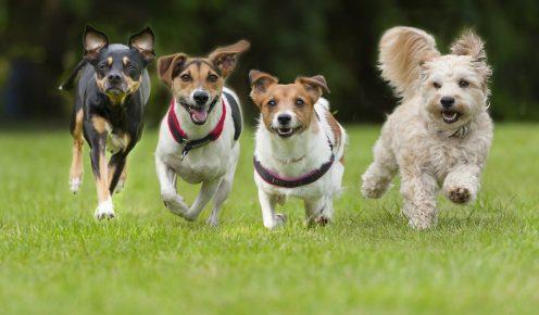 Четыре собаки бегут