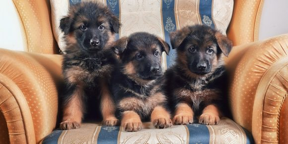 Три щенка немецкой овчарки