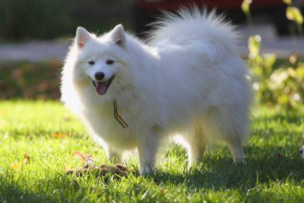 Американский эскимосский шпиц — собака, которую выгодно разводить для продажи