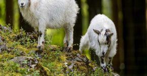 Рабочие будни двух козлят