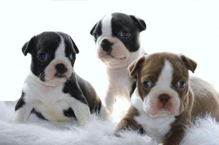 Собака породы бостон-терьер