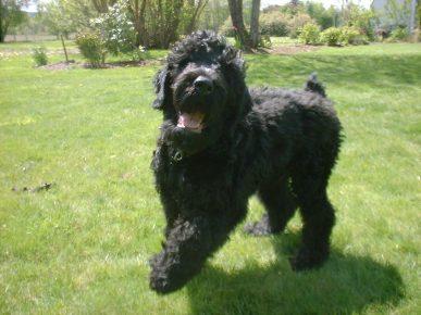 Собака породы русский чёрный терьер