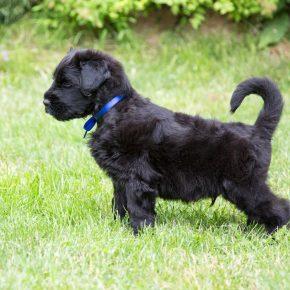 щенок чёрного терьера