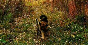Пожилая овчарка дружит с котом