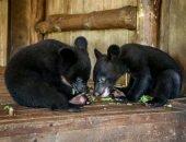 Медвежат-сирот спасли в Приморье