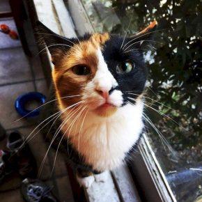 Кошечка с «двуликим» окрасом