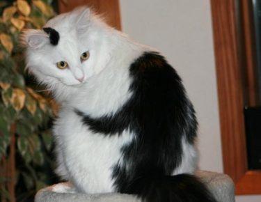 Обезьянка на спине кота