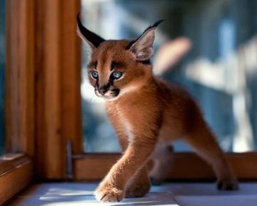 Котенок-рысь