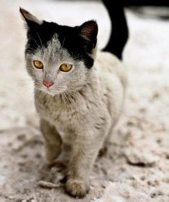 Котенок с чёрными ушками