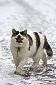 Кот с пятном на носу