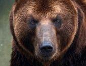 Медведь загрыз двух овчарок