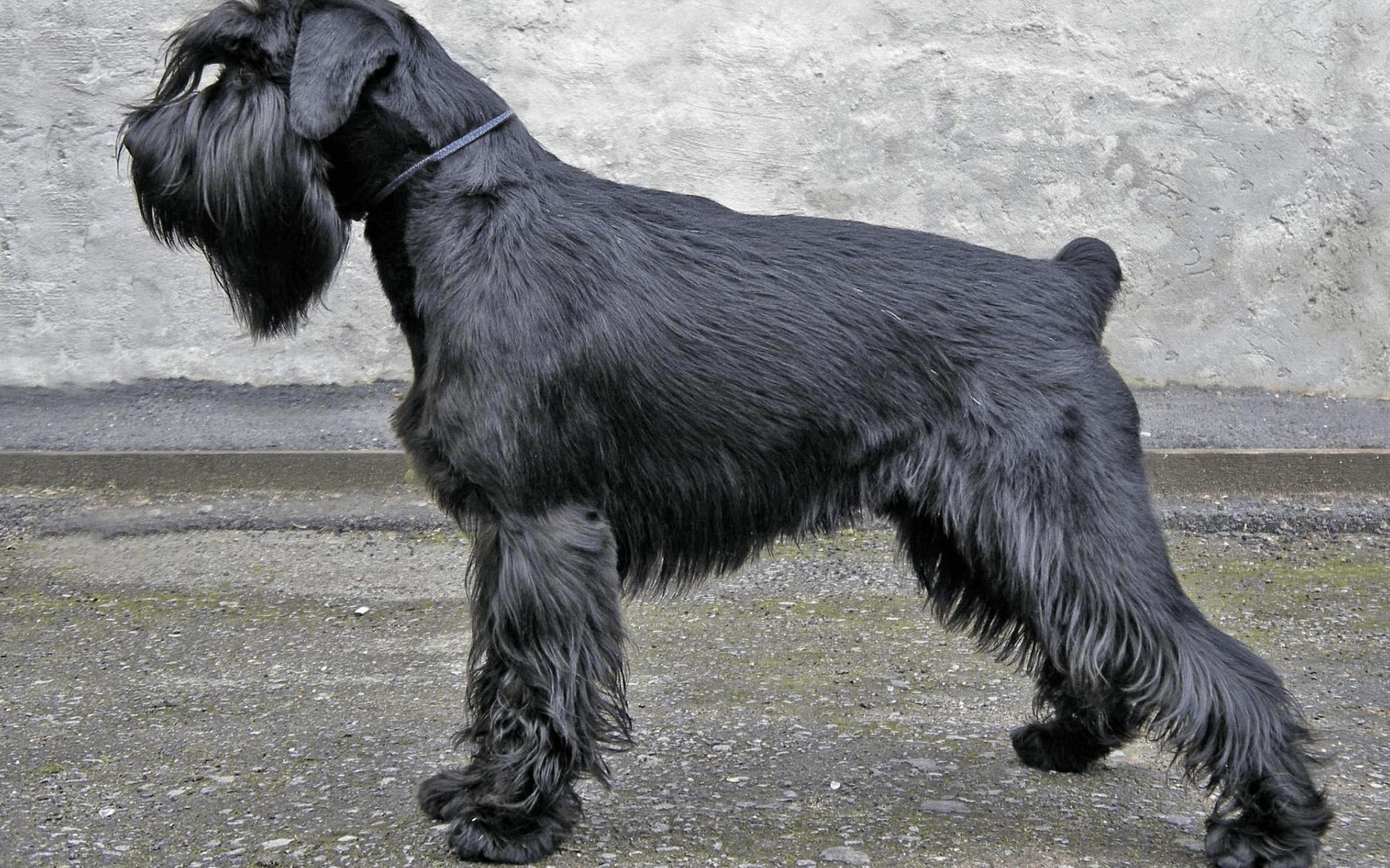 самые порода собак с бородой фото с названиями синоптики