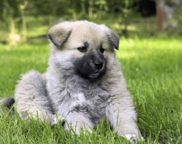 щенок породы кавказская овчарка