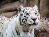 Тигр убил смотрителя зоопарка в Японии
