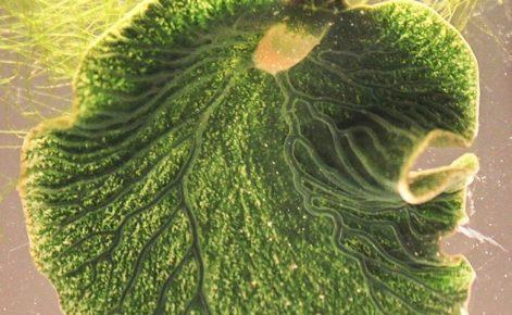 Морской слизень: Наполовину растение, наполовину животное