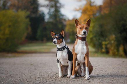 Собаки, которые не лают