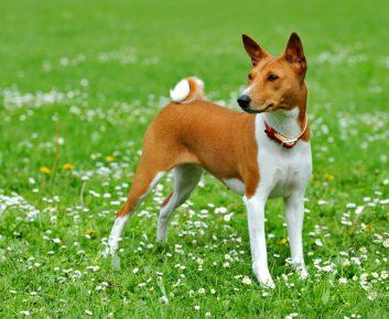 Собака породы бассенджи