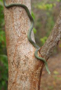 Райская змея