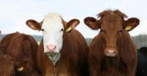 Стадо коров затоптало мужчину в Великобритании