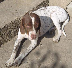Собака породы каталбурун