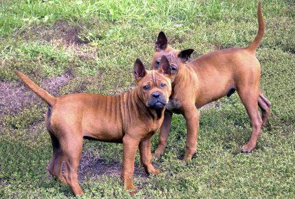 Собаки породы Чунцинь