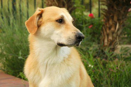 Собака породы чинук