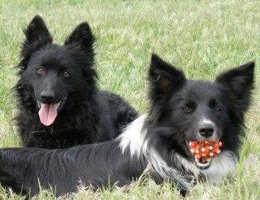 Собаки венгерской породы муди