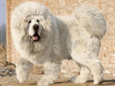 Белый тибетский мастиф
