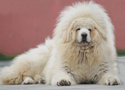 Порода белый тибетский мастиф