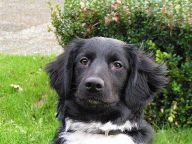 Собака породы Стабейхаун