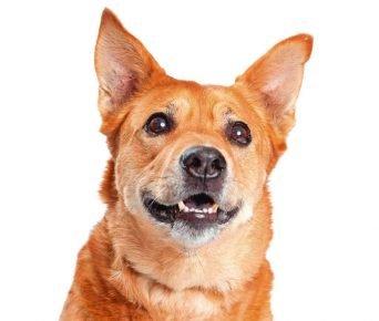 Собака породы каролинская