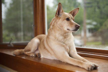 Порода каролинская собака
