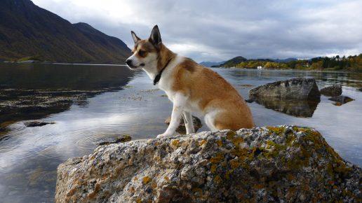 Собака породы норвежский лундехунд