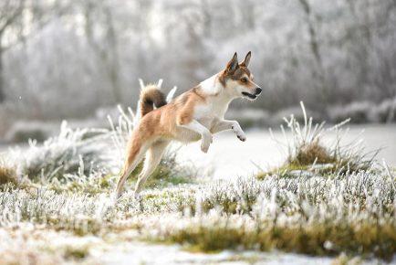 Норвежский лундехунд на охоте
