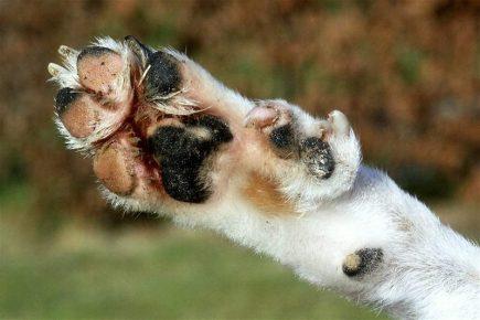 «лишний палец» на лапах норвежский лундехунда
