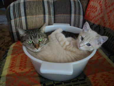 Коты в тазу