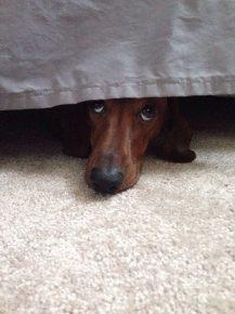 Такса прячется под кроватью