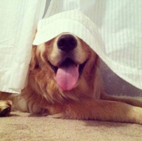 Собака под шторой