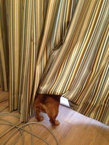 Собака спряталась за шторку